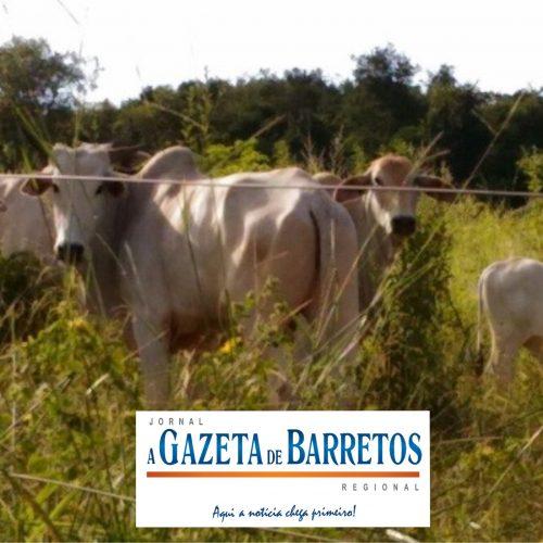 Ladrões invadem fazenda e matam vaca que estava prenha