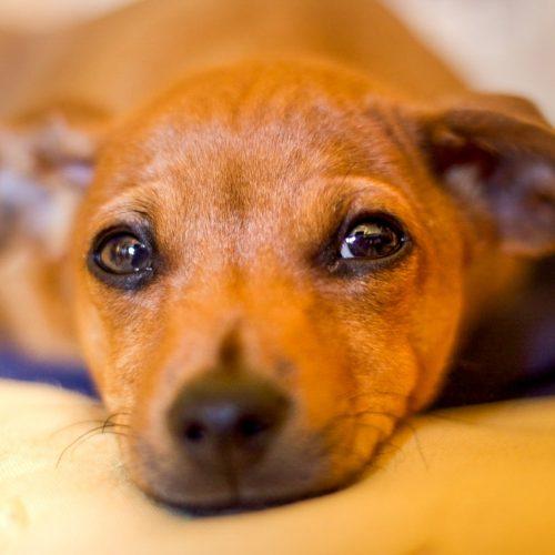 NOVEMBRO AZUL: Câncer de próstata atinge 4% dos cães com mais de 7 anos