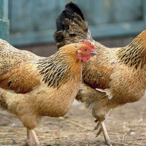 JABORANDI: Embriagado, homem é preso furtando galinhas em sítio