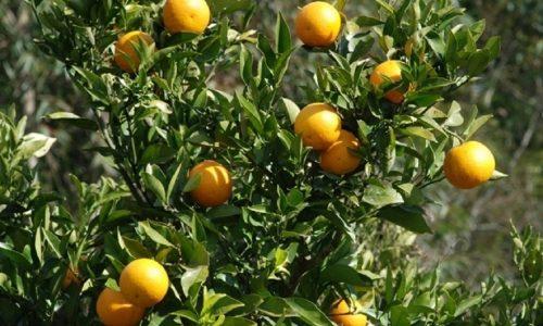 COLINA: Policia Rodoviária prende aposentado furtando laranjas em fazenda as margens da Rodovia Faria Lima