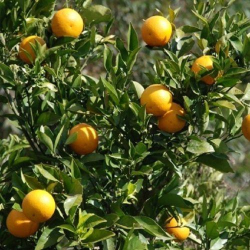 COLINA: Desempregado é preso por furto de caixas de laranja em fazenda na cidade