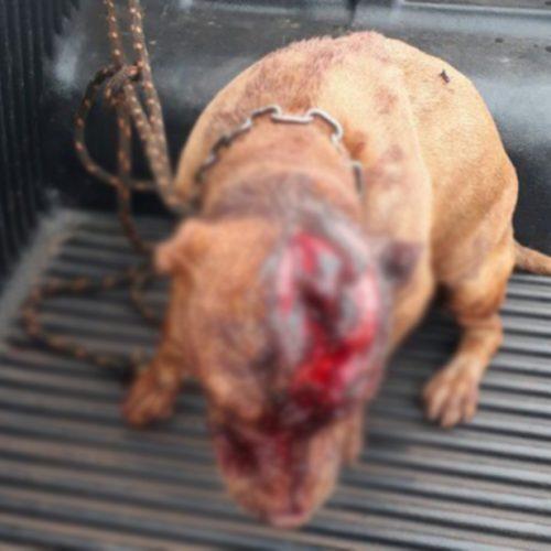 REGIÃO: Pit bull é agredido com golpes de podão na cabeça