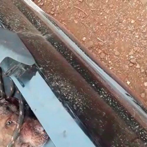 REGIÃO: Pit bull é agredido com golpes de podão na cabeça em Batatais, SP