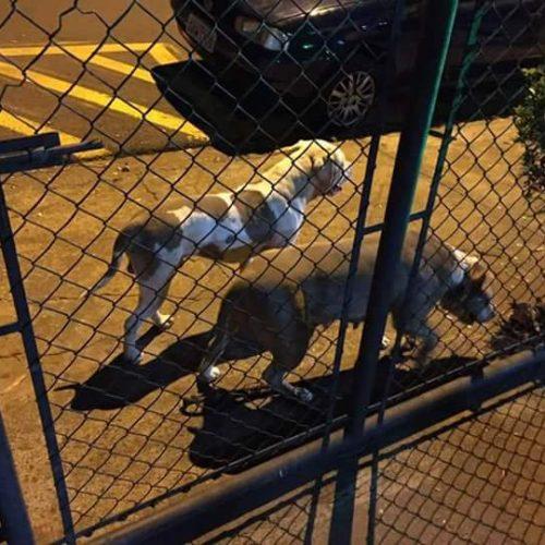 BARRETOS: Soltos na rua, cães da raça Pitbull atacam clientes em restaurante e um deles fere Policial Militar