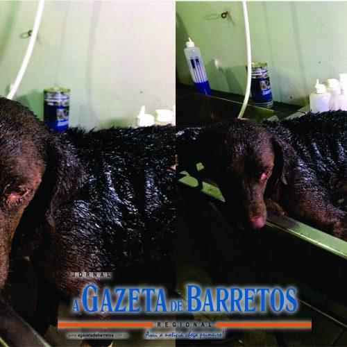 BARRETOS: MAUS TRATOS – Eletricista é  MULTADO após passar ÓLEO QUENTE em cachorro