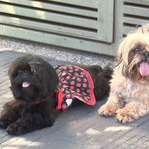 REGIÃO: Quatro dias após serem furtadas, cadelas shih-tzu são devolvidas à família