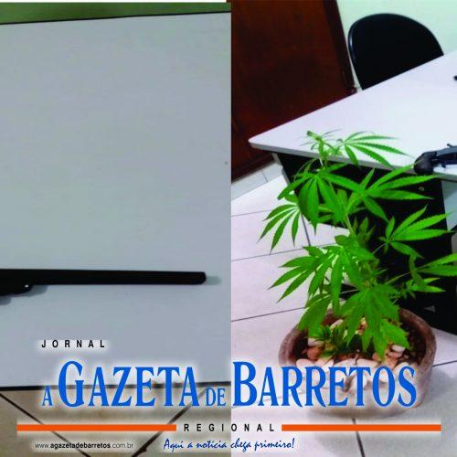 """BARRETOS: Policia Militar apreende """"pé de maconha"""" e arma de fogo em residência"""