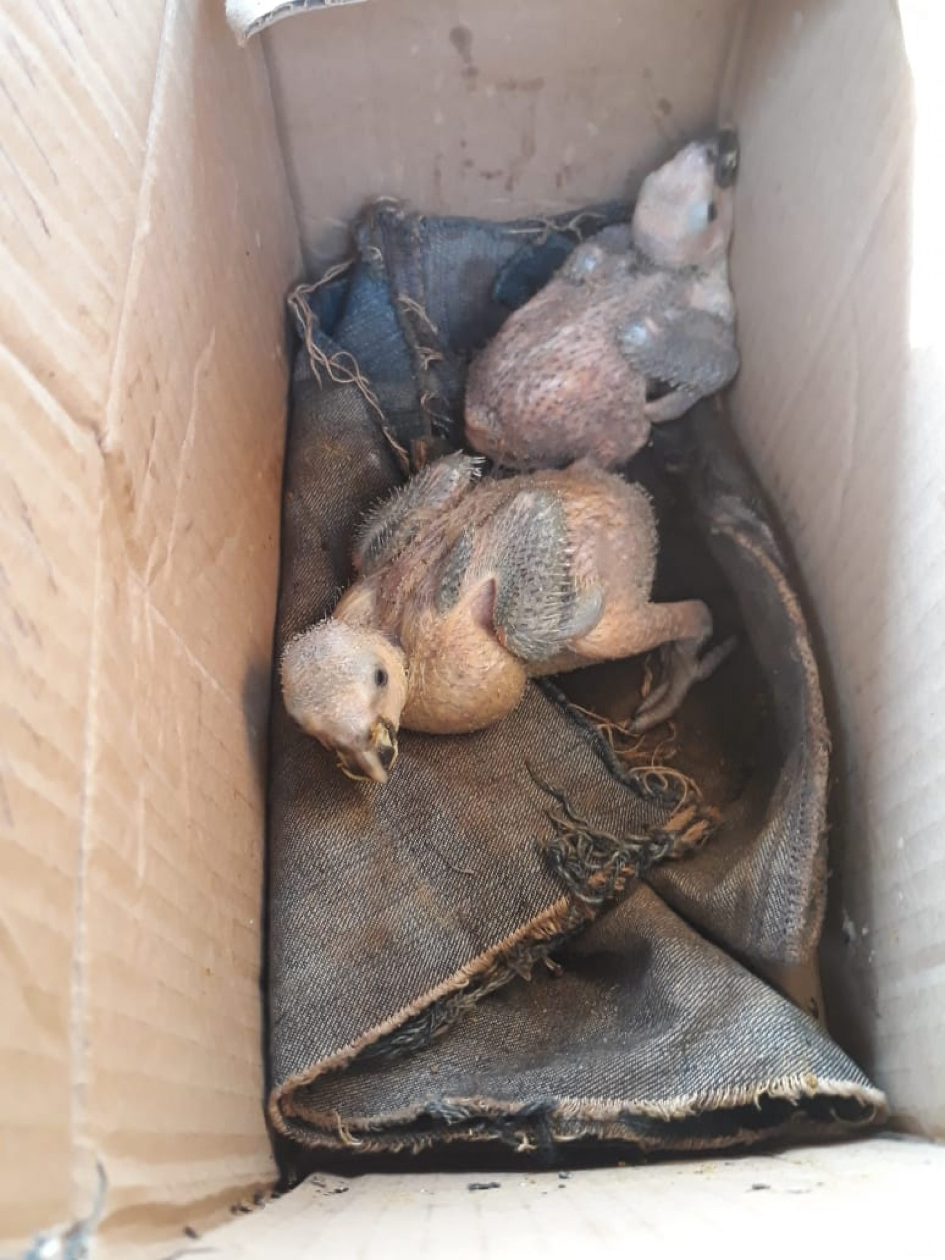 BARRETOS: Transporte de animal silvestre e Maus Tratos