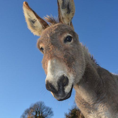 BARRETOS: Lavrador vai a igreja no centro da cidade e ladrão furtou seu burro que estava amarrado na Rua 22