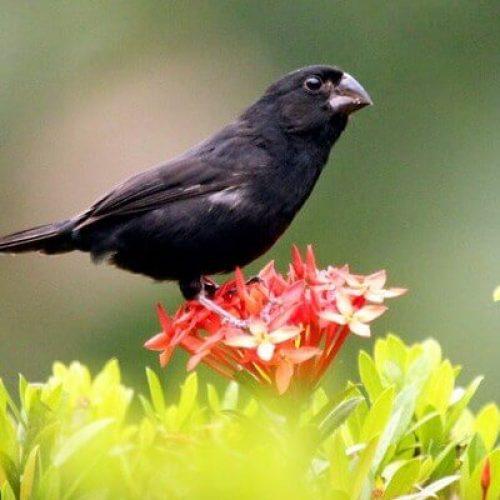 BARRETOS: Pássaros registrados no IBAMA fogem e tutora registra ocorrência