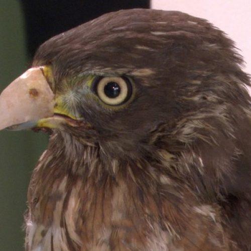 BARRETOS: Animais resgatados que perderam patas e bicos ganham próteses de resina